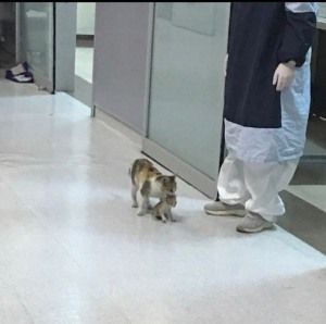 Instanbul cat taking his baby to hospital